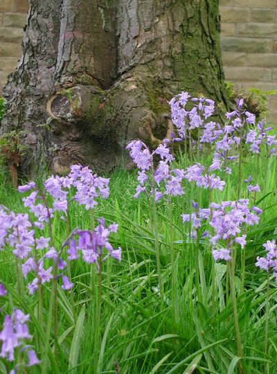 bluebells and tree