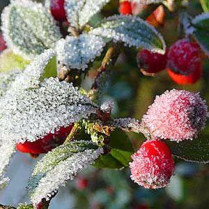 frozen-berrries-300