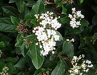 Viburnum tinus white variety in flower
