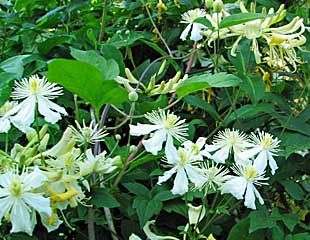 clematis fargesioides combined with honeysuckle