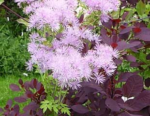 Cotinus with thalictrum