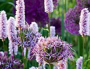 Allium-with-Persicaria-310