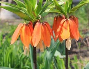 Fritillaria imperialis Crown imperial in bright orange