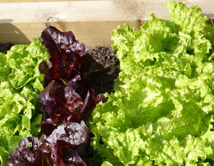 Lettuce in a container