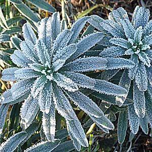 frozen-wallflowers-300