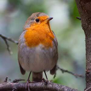 Robin-in-garden-300