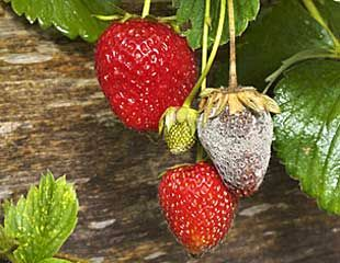 Botrytis on strawberries