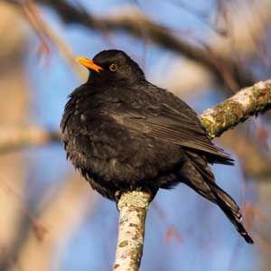 Blackbird-300