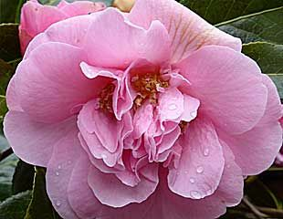 Pink Camellia close up