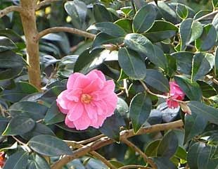 Pink Camellia with leaves