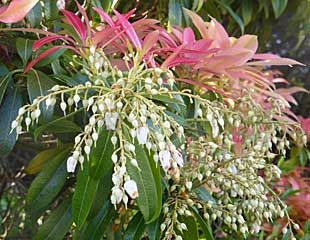 Spring flowering shrubs pieris japonica an easy to grow evergreen shrub i has strong spring colour with red leaves fading to green and multiple white flowers mightylinksfo
