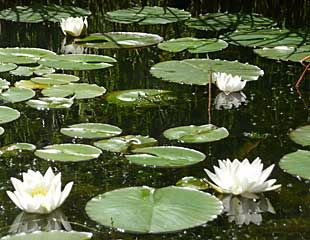 Garden Pond with lilies in the rain