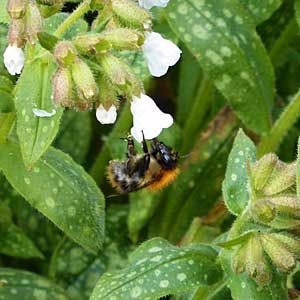 Pulmonaria-sissinghurst-white-with-solitary-bee.-310