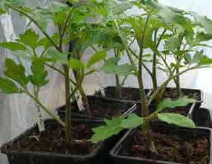 Small seedlings in Poly tunnel