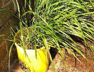 Deschampsia cespitosa tufted hair grass