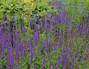 Salvia × sylvestris 'Mainacht'