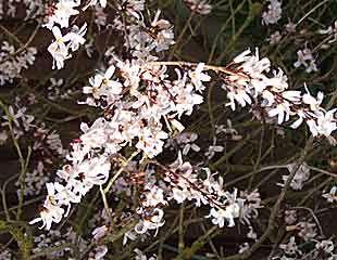 white Forsythia Abeliophyllum.distichum