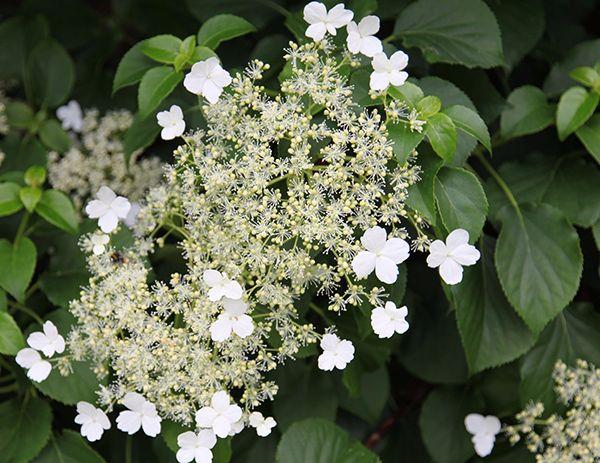 Climbing Hydrangea Latin name