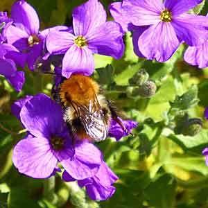 Bee-on-aubretia-300