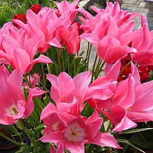 tulips-300