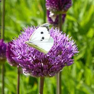 allium-and-butterfly