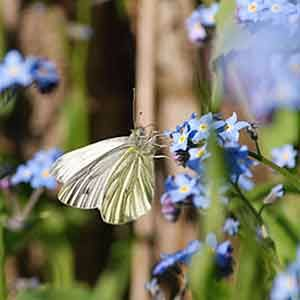 cabbage-white-and-forget-me-nots-300jpg