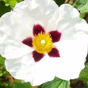 Cistus-x-dansereaui-'Decumbens'-by-the-Sunday-Gardener