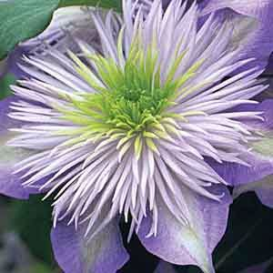 Clematis 'Crystal Fountain'