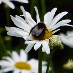 Bee-on-daisy-flower-300