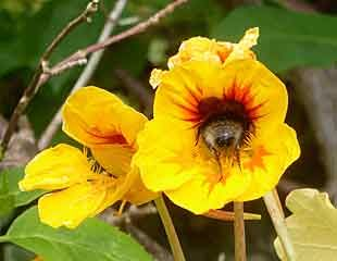 Head first bee in Nasturtium
