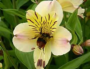 Bee and Alostomaria