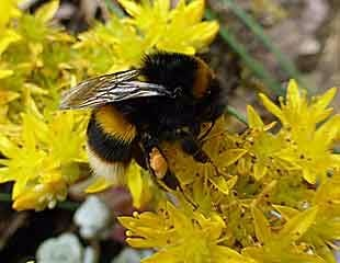 Bees on Sedum with pollen sacs