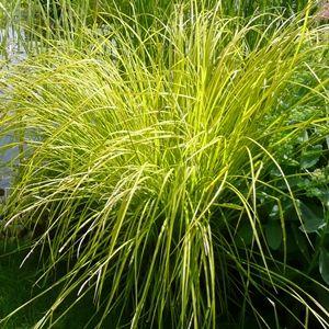Carex-golden-bowles