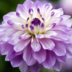 Dahlia delicate purple