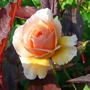 Sweet-Juliet-rose-in-bloom