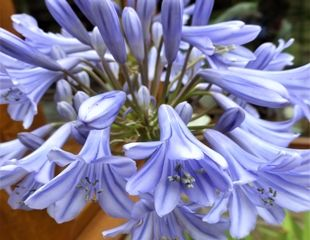 Agapanthus in flower