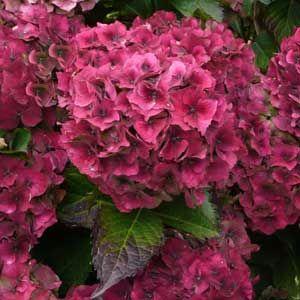 Autumn-colour-hydrangea-300