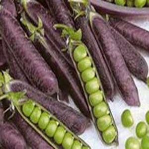 Pea-seeds-Blauwschokker-rob-smiths-heritage-veg-310