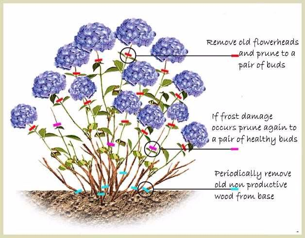 How to prune Hydrangea with text