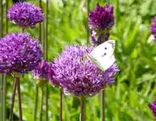 allium with butterfly 310