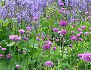 Allium with Camassia