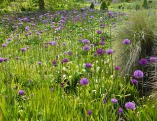 Alliums on mass