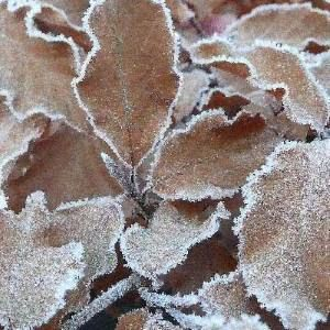 frost-beech-leaves--300