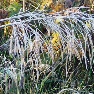 Grass-in-frost.jpg-300