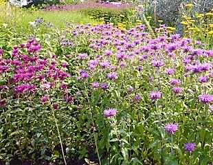 Monarda in mixed border