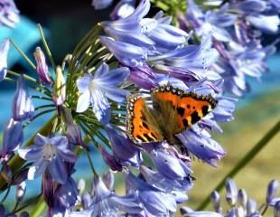 Agapanthus with butterfly