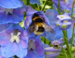 Bumble bee on Delphinium