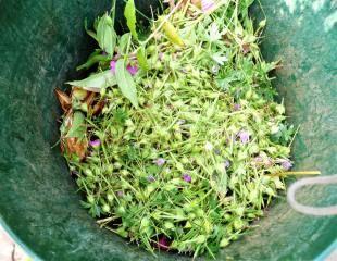 geranium dead heads