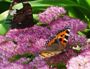 Sedum with Butterfly