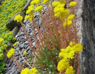 Sedum happy in wall